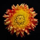Fiore arancio Fotografie Stock