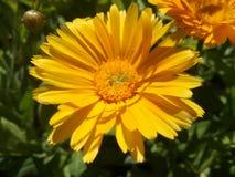 Fiore arancio acceso dal sole Calendula Fotografia Stock