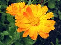 Fiore arancio con le gocce di rugiada fotografia stock libera da diritti