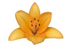 Fiore arancio del ` della LA della trinità del giglio reale ibrido del ` isolato su bianco Fotografia Stock Libera da Diritti