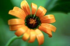 Fiore arancio del dimorphoteca immagine stock libera da diritti