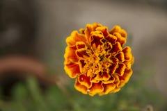Fiore arancio del giardino Fotografie Stock Libere da Diritti