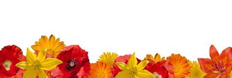 Fiore arancio del giardino sui precedenti bianchi Fiore arancio, giallo, rosso Fotografia Stock Libera da Diritti