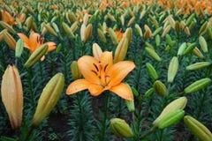 Fiore arancio del giglio con il germoglio Immagine Stock