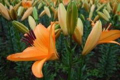 Fiore arancio del giglio con il germoglio Immagini Stock