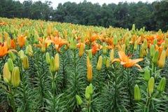 Fiore arancio del giglio con il germoglio Fotografie Stock