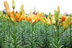 Fiore arancio del giglio con il germoglio Immagine Stock Libera da Diritti