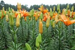 Fiore arancio del giglio con il germoglio Fotografia Stock Libera da Diritti