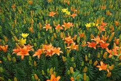 Fiore arancio del giglio con il germoglio Fotografie Stock Libere da Diritti