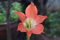 Fiore arancio del giglio della stella o fioritura di Wan See Tit Fotografia Stock