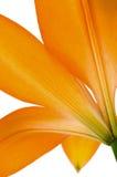 Fiore arancio del giglio isolato Fotografia Stock Libera da Diritti