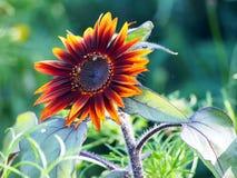 Fiore arancio del girasole dell'annuncio rosso Fotografie Stock Libere da Diritti