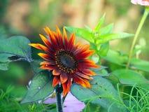 Fiore arancio del girasole dell'annuncio rosso Immagini Stock Libere da Diritti