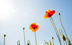 Fiore arancio del papavero con cielo blu Fotografie Stock Libere da Diritti