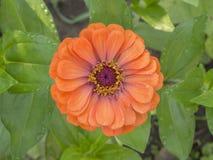 Fiore arancio del prato Immagini Stock