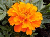 Fiore arancio del tagete Fotografie Stock Libere da Diritti