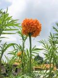 Fiore arancio del tagete mexico Immagine Stock