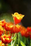 Fiore arancio del tulipano Fotografia Stock