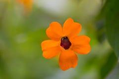 Fiore arancio dell'aloe Fotografia Stock