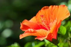 Fiore arancio dell'ibisco Immagine Stock
