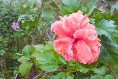 Fiore arancio dell'ibisco Fotografie Stock