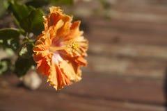 Fiore arancio dell'ibisco Fotografie Stock Libere da Diritti