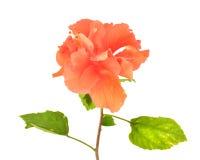 Fiore arancio dell'ibisco Fotografia Stock