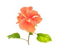 Fiore arancio dell'ibisco Fotografia Stock Libera da Diritti