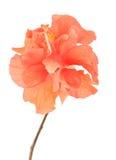 Fiore arancio dell'ibisco Immagini Stock