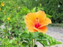 Fiore arancio dell'ibisco che fiorisce nel giardino Fiore arancio nella t Immagine Stock