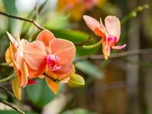 Fiore arancio dell'orchidea in giardino tropicale, fondo verde per il po Fotografia Stock Libera da Diritti