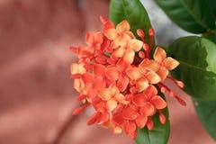 Fiore arancio dell'ortensia Immagine Stock Libera da Diritti