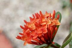 Fiore arancio dell'ortensia Immagini Stock Libere da Diritti