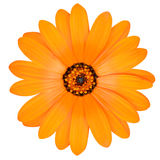 Fiore arancio della calendula in piena fioritura isolata Fotografie Stock