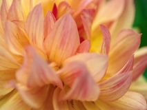 Fiore arancio della discoteca nei bei fiori del giardino fotografia stock libera da diritti