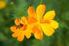 Fiore arancio di cosmea con l'ape Fotografie Stock Libere da Diritti
