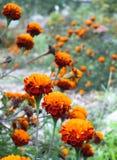 Fiore arancio di fioritura Fotografia Stock Libera da Diritti