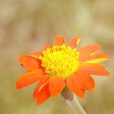 Fiore arancio di zinnia Fotografia Stock