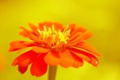 Fiore arancio di zinnia Fotografie Stock