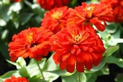Fiore arancio di zinnia Fotografie Stock Libere da Diritti