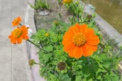 Fiore arancio di zinnia Immagine Stock Libera da Diritti