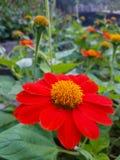 Fiore arancio di zinnia Immagine Stock