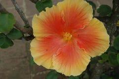 Fiore arancio e giallo dell'ibisco Fotografia Stock
