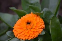 Fiore arancio fresco del tempo di mattina Fotografie Stock Libere da Diritti