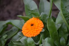 Fiore arancio 2 in giardino Fotografie Stock Libere da Diritti