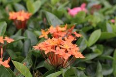 Fiore arancio: Ixora Fotografie Stock