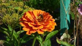 Fiore arancio luminoso fra le foglie verdi con l'ape su  stock footage