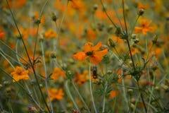 Fiore arancio nel giardino di Taiwan fotografia stock libera da diritti