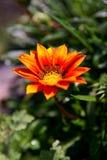 Fiore arancio nel giardino fuori con le foglie aperte coperte dalle gocce di acqua fresche Fotografia Stock
