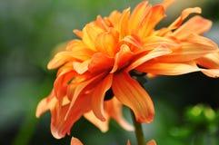 Fiore arancio rosso Fotografia Stock Libera da Diritti
